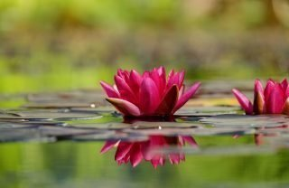 water-lily-1442497_1280